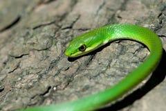 绿色粗砺的蛇 库存照片