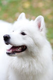 狗纵向萨莫耶特人 免版税库存图片