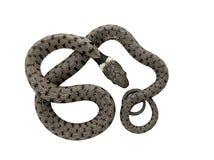 卷曲的蛇 库存图片