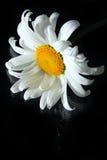唯一背景黑色的春黄菊 库存照片