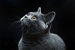猫黑眼睛黄色 免版税库存照片