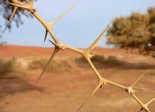 金合欢结构树 免版税库存图片