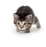 小猫偷偷靠近的平纹 免版税图库摄影