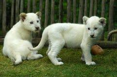 当幼童军狮子白色 免版税库存照片