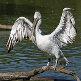 крыла пеликана Стоковое Изображение