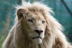 狮子白色 免版税库存照片