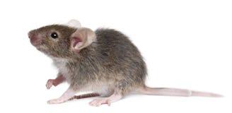 鼠标年轻人 免版税库存照片