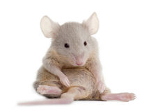 鼠标坐的年轻人 库存图片