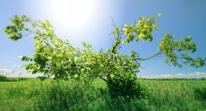 日绿色晴朗的结构树 免版税库存照片