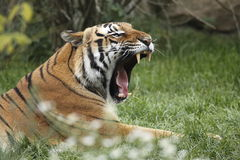 打呵欠阿穆尔河的老虎 图库摄影
