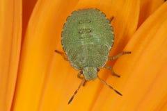 臭虫绿色若虫盾 库存照片