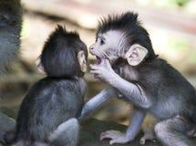 巴厘岛猴子 免版税图库摄影