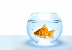 рыбы золотистые Стоковая Фотография