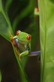 被注视的青蛙绿色红色结构树 免版税库存图片