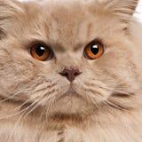 英国猫关闭长发  库存照片