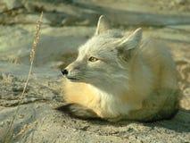 белизна лисицы Стоковые Изображения