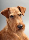 爱尔兰狗 免版税库存图片