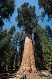 谢尔曼将军结构树 免版税库存照片