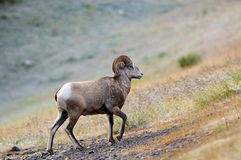 亚伯大大角羊加拿大山岩石绵羊 库存照片