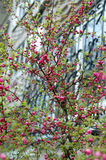 开花樱桃日本时间结构树 库存图片