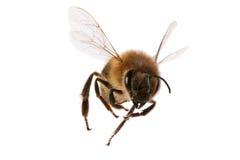 蜂飞行 免版税库存照片