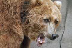 熊北美灰熊纵向 免版税图库摄影