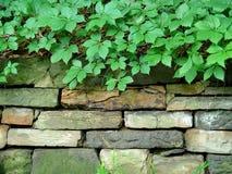 叶茂盛石墙 库存照片