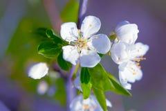 苹果接近的花结构树 免版税库存图片