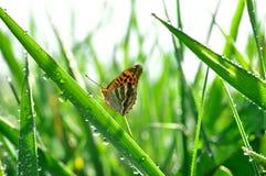 δροσιά πεταλούδων Στοκ Φωτογραφίες