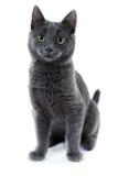 голубой русский котенка Стоковые Фото