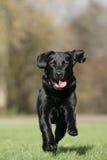 狗拉布拉多猎犬运行中 免版税库存图片