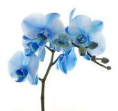 蓝色花开花兰花兰花兰花植物 免版税库存图片