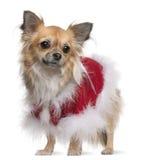 奇瓦瓦狗成套装备圣诞老人佩带 免版税库存图片