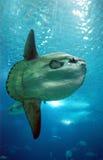 большие рыбы Стоковые Фотографии RF