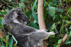 熊考拉 免版税图库摄影