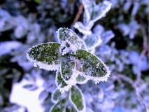 παγωμένα φύλλα Στοκ Φωτογραφία