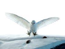 κυνηγώντας κουκουβάγια Στοκ εικόνες με δικαίωμα ελεύθερης χρήσης