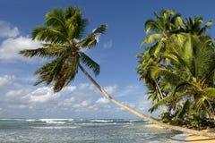 ладонь кокоса Стоковая Фотография