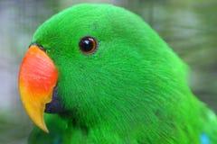 绿色长尾小鹦鹉 图库摄影