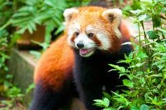 熊好奇熊猫红色 库存照片