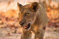 狮子年轻人 免版税库存图片