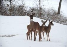 鹿下雪白尾鹿 库存图片
