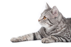 серый цвет кота изолировал Стоковые Изображения RF