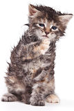 猫西伯利亚人 库存图片