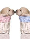 щенок влюбленности Стоковое фото RF