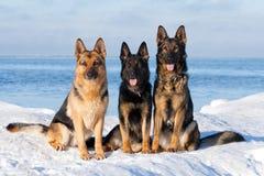 γερμανικά τσοπανόσκυλα Στοκ Φωτογραφίες