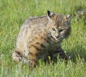 美洲野猫 免版税库存图片