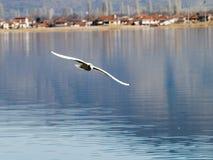 чайка летая Стоковое Фото