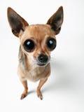 被注视的大奇瓦瓦狗 免版税图库摄影