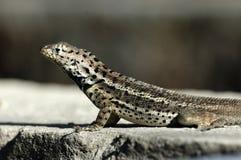 加拉帕戈斯蜥蜴 免版税库存图片